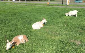 トンデンファームの山羊