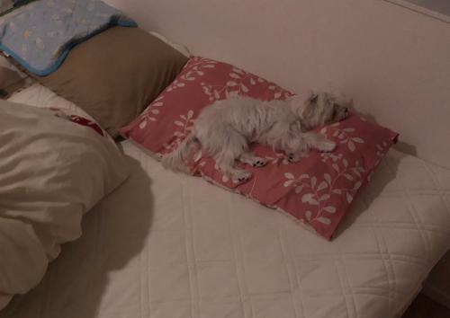 枕で寝るパンナ