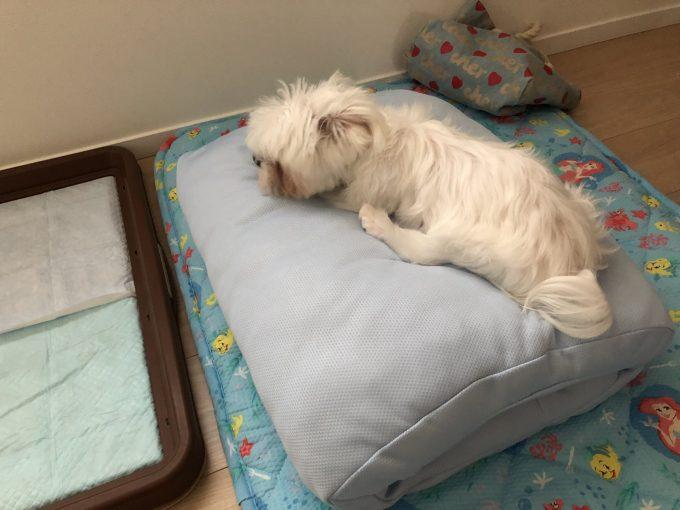 暑くて寝てるパンナ