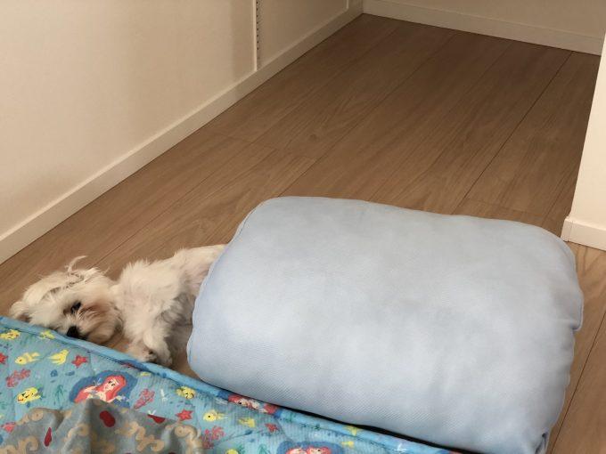 ひんやりマットで寝るパンナ