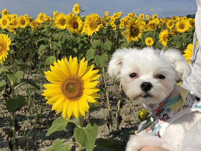 向日葵と犬