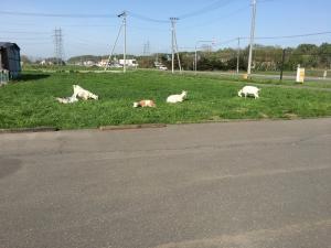 駐車場脇の山羊