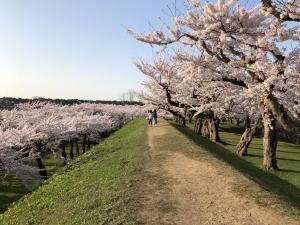 2018年函館五稜郭の桜